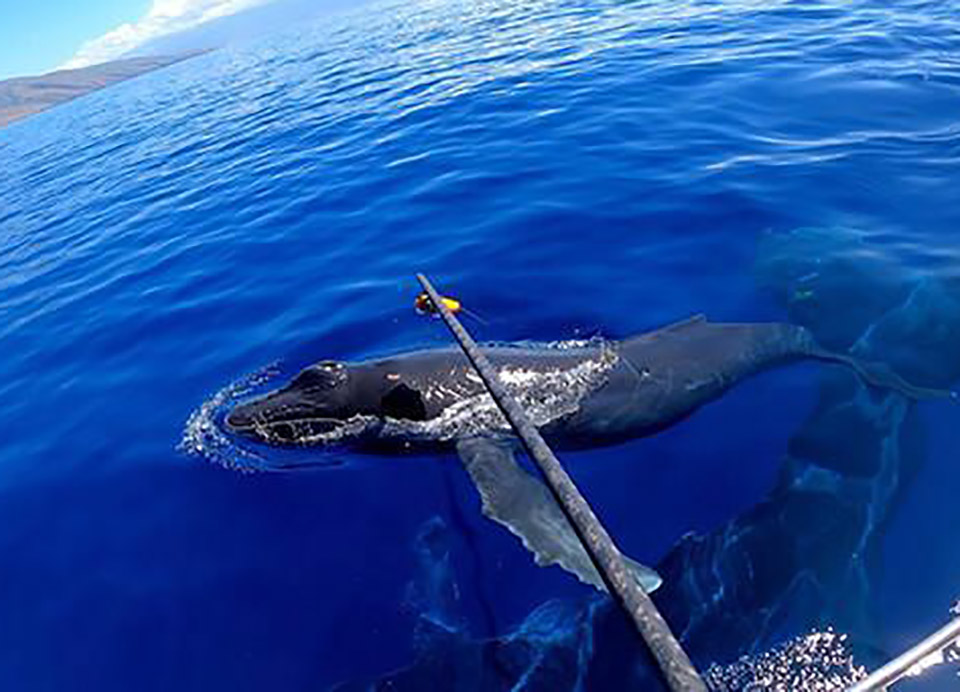 University of Hawaii Research Humpback Whale